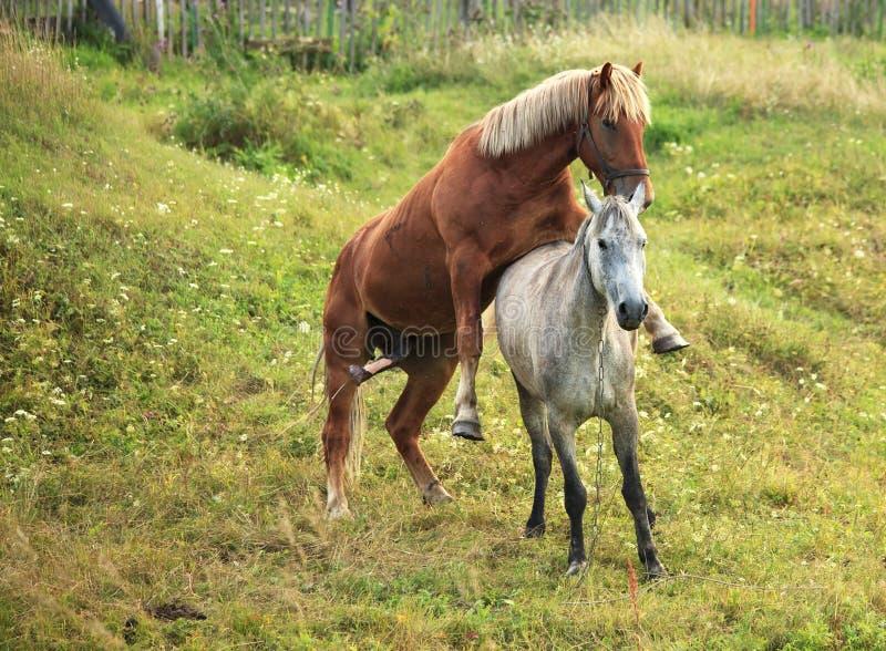 sprzęgający konie zdjęcie stock