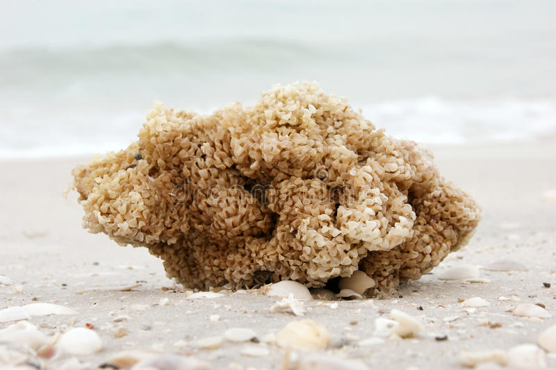 Spugna del mare sulla spiaggia immagine stock