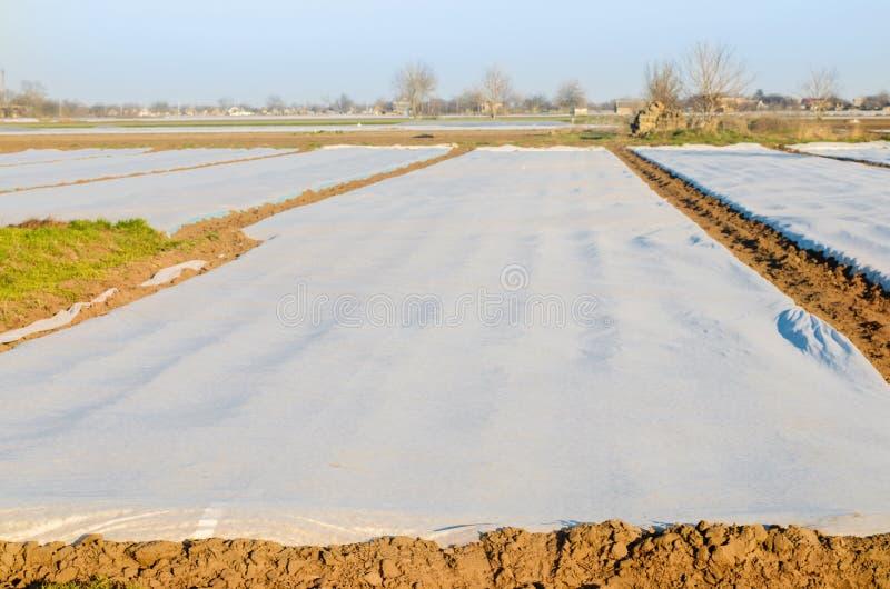 Spunbond-Brutstätten für Gemüsesämlinge gegen Nachtfrost auf dem Gebiet, bewirtschaftend, Landwirtschaft stockbild