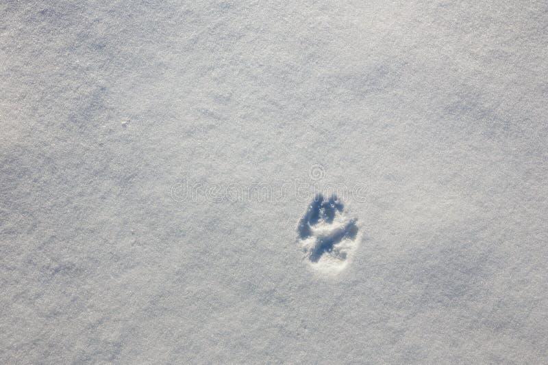 Spur der Tatze eines Wolfs auf dem Schnee im Winter stockfoto