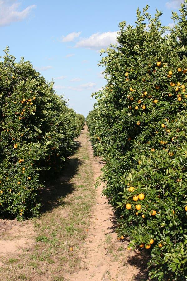 Spur durch Zitrusfrucht-Waldung stockbild