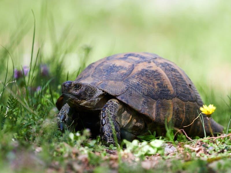 Spur thighed sköldpaddan & x28; Testudograeca& x29; i naturlig livsmiljö arkivfoton