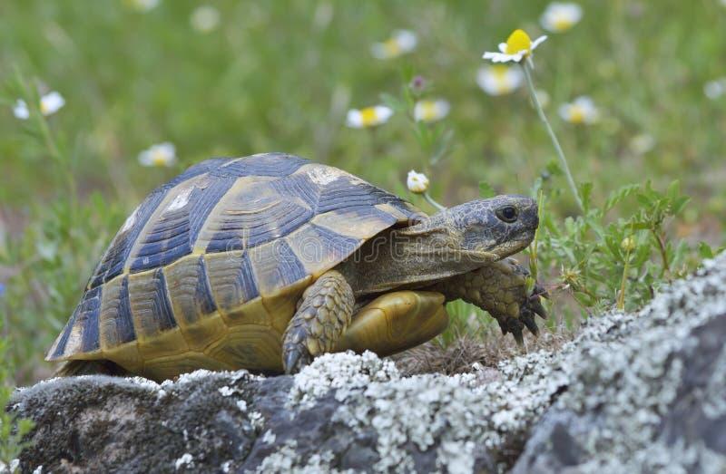 Spur thighed sköldpaddan (Testudograecaen) royaltyfria bilder