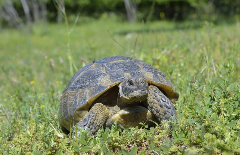 Spur thighed sköldpaddan (Testudograecaen) royaltyfri foto
