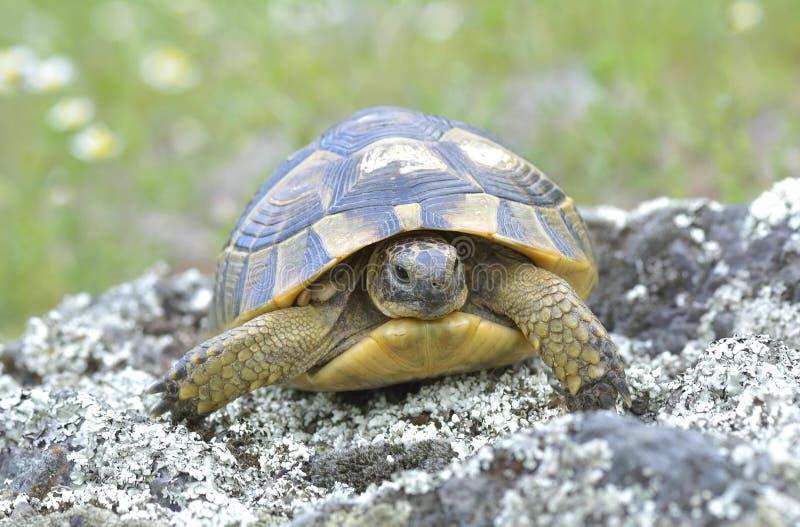 Spur thighed sköldpaddan (Testudograecaen) royaltyfri fotografi