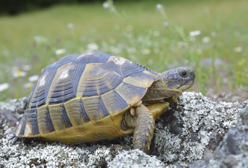 Spur thighed sköldpaddan (Testudograecaen) arkivfoton