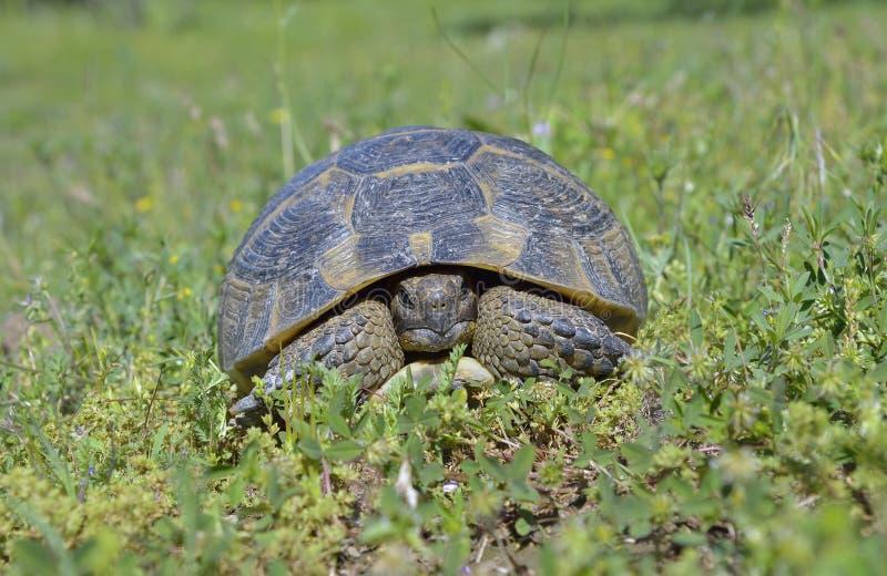 Spur thighed sköldpaddan (Testudograecaen) arkivbild
