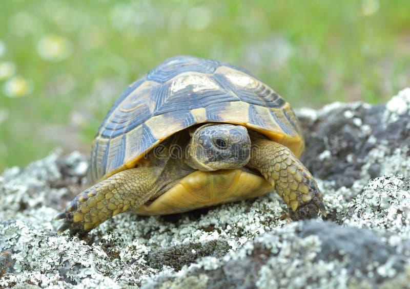 Spur thighed sköldpaddan (Testudograecaen) fotografering för bildbyråer