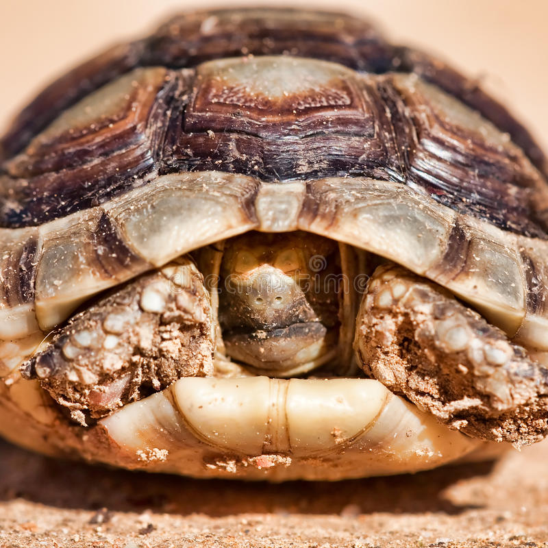 Spur-thighed Tortoise. Portrait of a Spur-thighed tortoise on the ground royalty free stock images