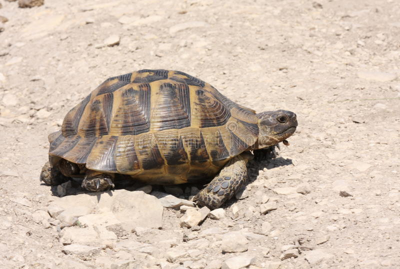 Spur-thighed tortoise. (testudo graeca) walking on dry land royalty free stock images