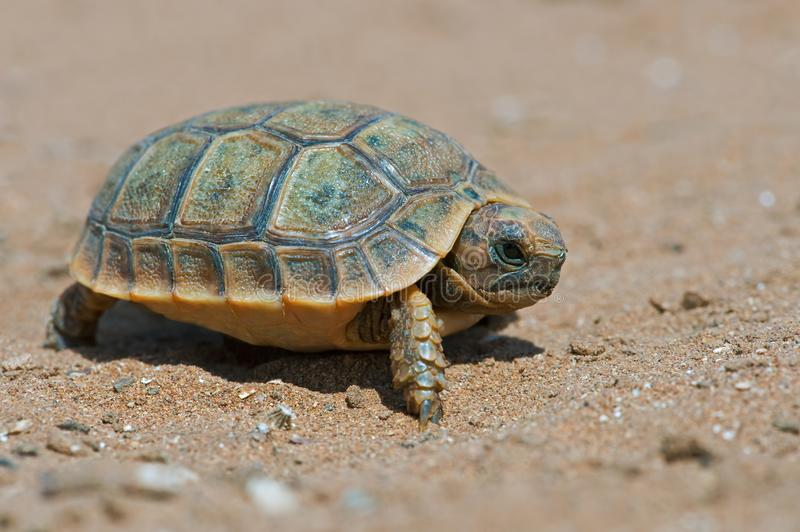 Spur-thighed Tortoise Testudo graeca. Tiny Spur-thighed Tortoise in Moroccan desert stock images