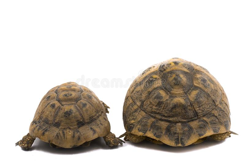 Spur thighed turtle Testudo graeca and Hermann`s tortoise Testudo hermanni, back to back stock photo