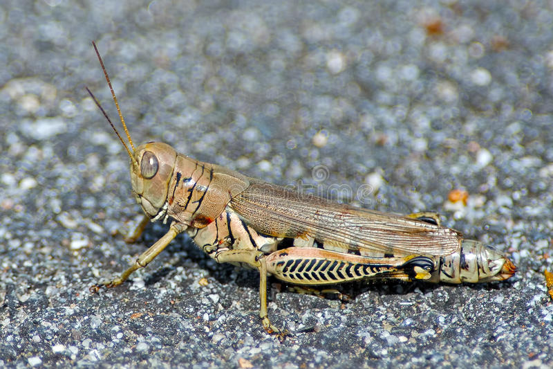 Spur-Throated Grasshopper stock photography