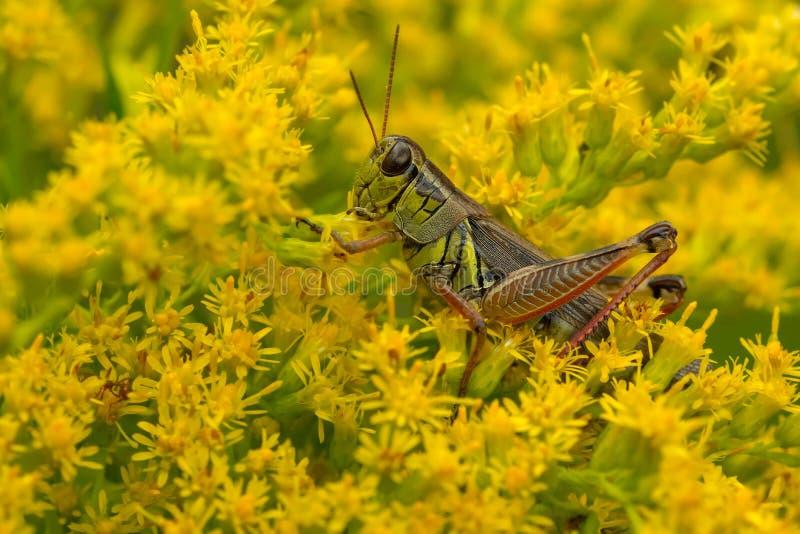 Spur-throated Grasshopper - Melanoplus species stock image