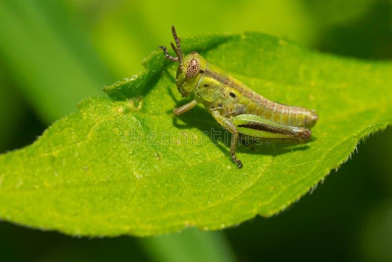 Spur-throated Grasshopper - Melanoplus species royalty free stock photo