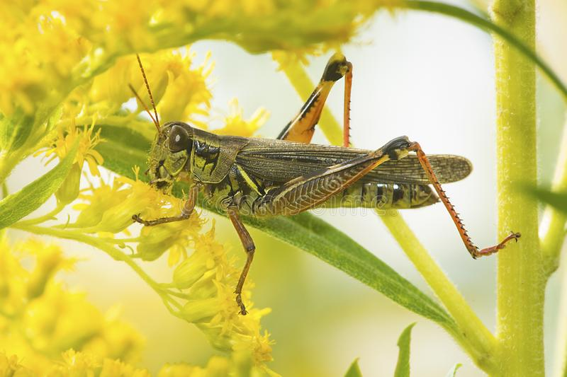 Grasshopper on a goldenrod flower in New Hampshire royalty free stock images