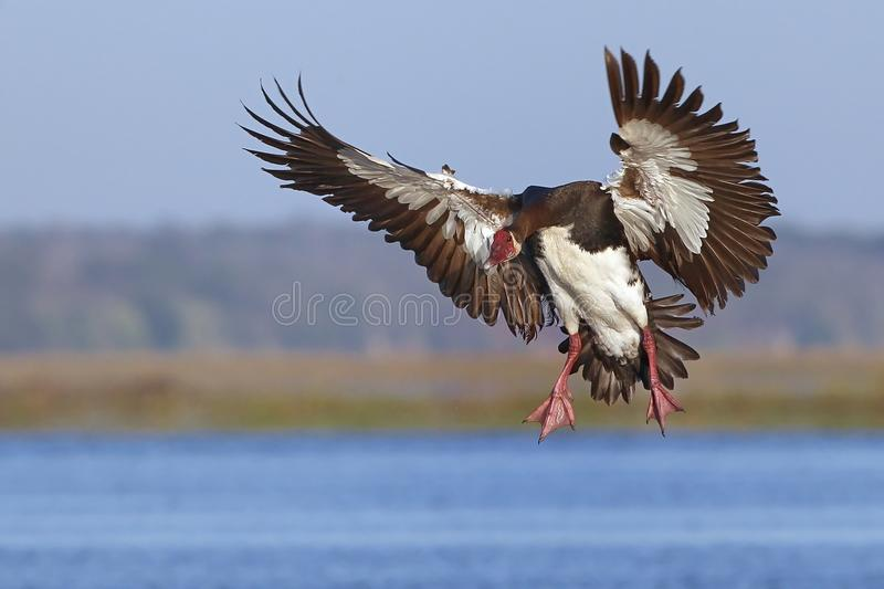 Download Spur-winged Goose stock image. Image of waterfowl, anatidae - 25315893