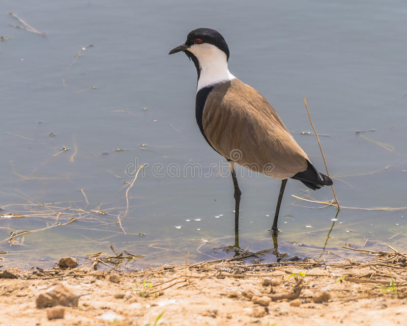 Spur-winged Lapwing stock image
