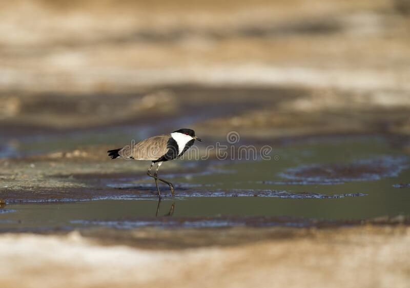 Spur-winged Plover near a water body seen at Masai Mara, Kenya. Africa stock images