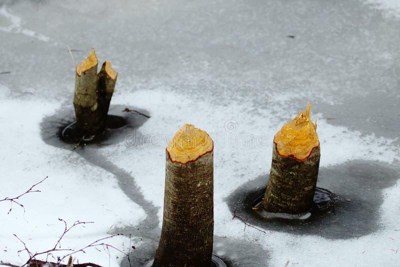 Spuren der Bibertätigkeit im Wald im Winter lizenzfreies stockbild