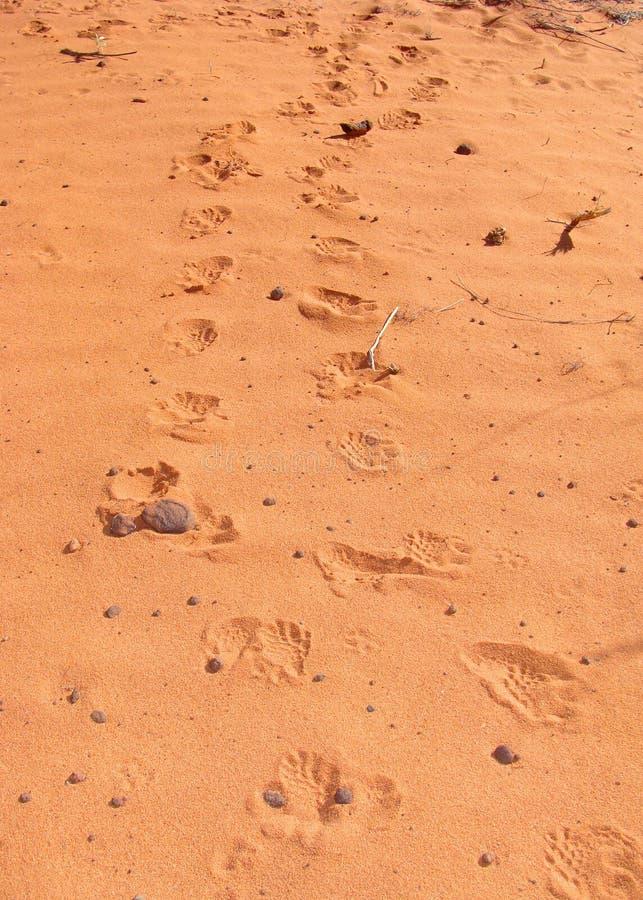 Spuren einer Wüstenschildkröte, Gopherus agassizii stockbild