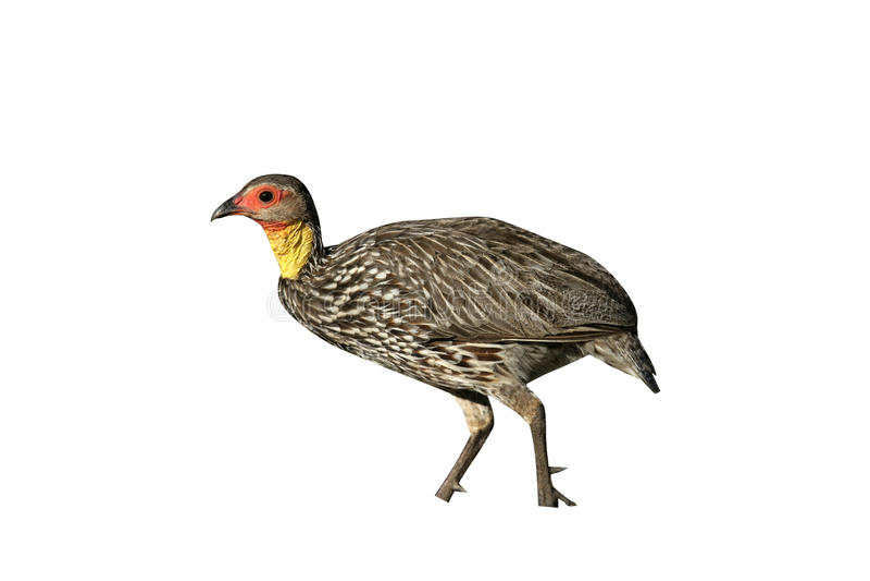 spurfowl Amarillo-necked, leucoscepus de Pternistis imagen de archivo libre de regalías