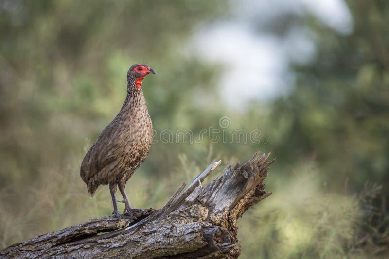 Spurfowl Swainson στο εθνικό πάρκο Kruger, Νότια Αφρική στοκ εικόνες
