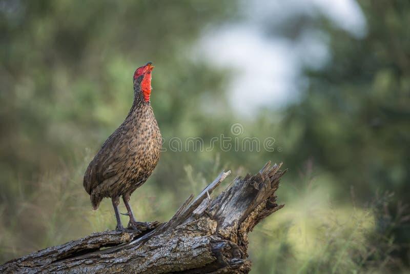 Spurfowl Swainson στο εθνικό πάρκο Kruger, Νότια Αφρική στοκ εικόνες με δικαίωμα ελεύθερης χρήσης
