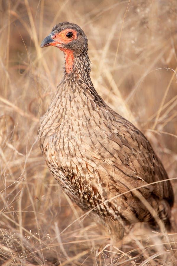 Spurfowl van Swainson (Pternistis-swainsonii) royalty-vrije stock foto