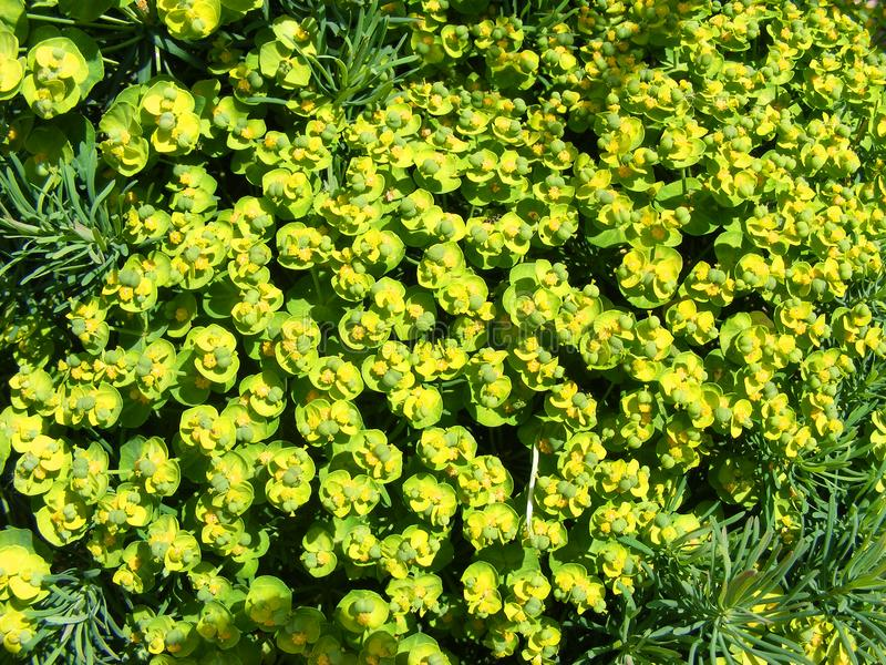 Spurge开花大戟属Amygdaloides 在绿色和黄色花的背景 免版税库存图片