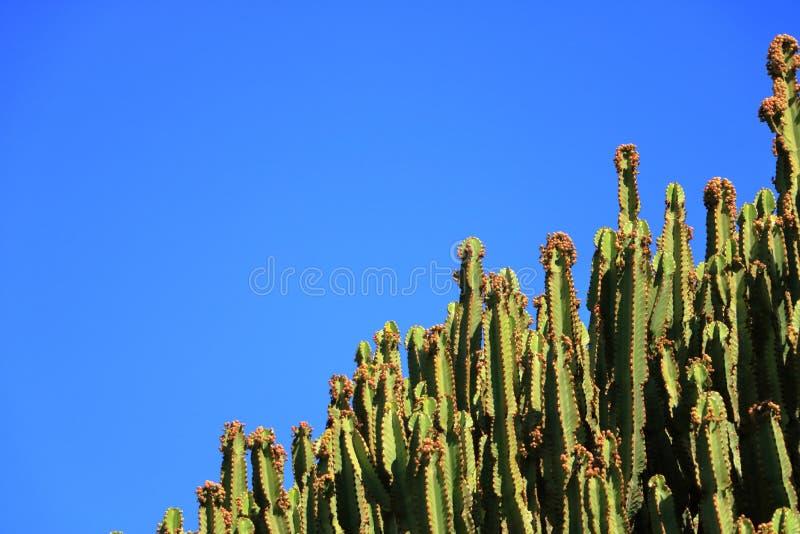 Spurge de candélabre contre le ciel bleu, candélabre d'euphorbe, cactus, Îles Canaries image libre de droits