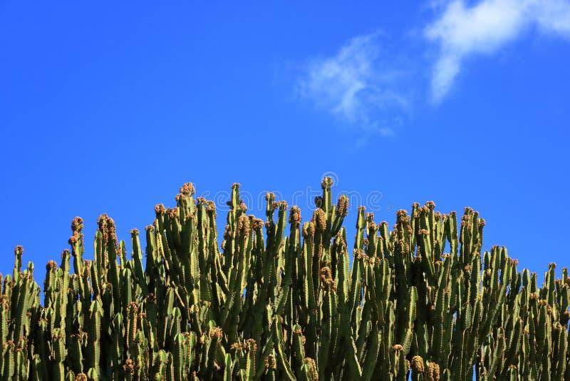 Spurge de candélabre contre le ciel bleu, candélabre d'euphorbe, cactus, Îles Canaries photo libre de droits
