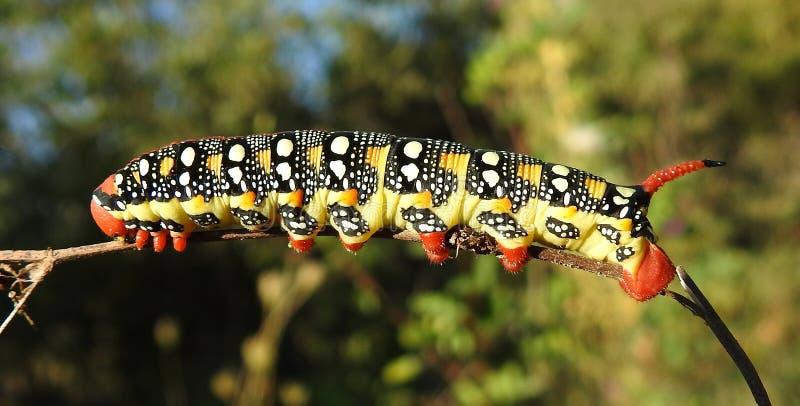 Spurge-Falke-Motte Hyles-euphorbiae lizenzfreies stockfoto