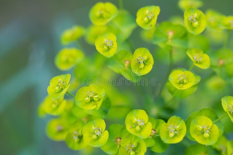 Spurge florece (euforbio Amygdaloides) imagen de archivo