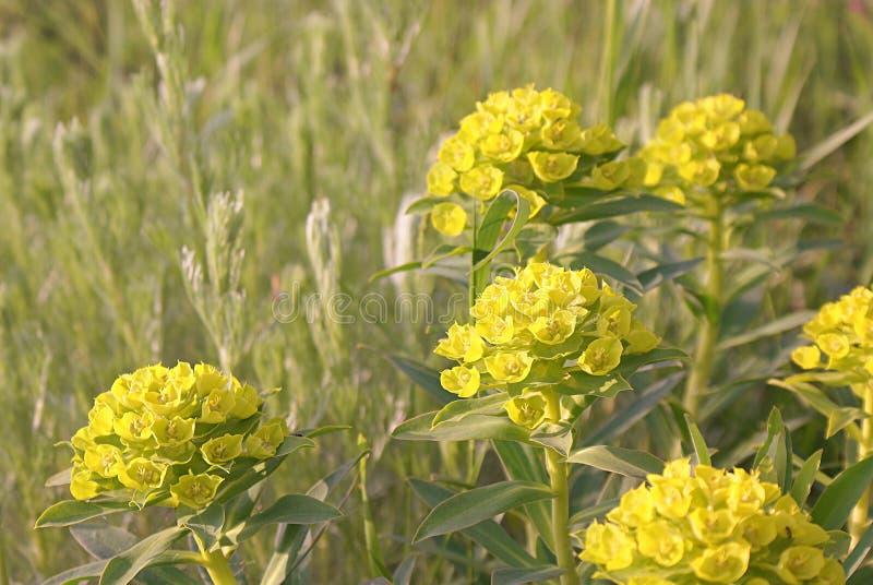 Spurge floreciente del verde amarillo en un fondo de la vegetación de la primavera imagen de archivo