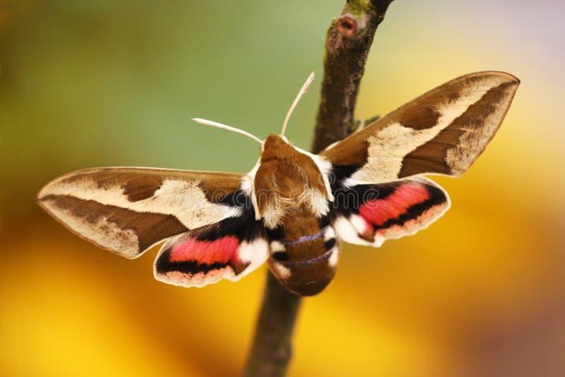 Spurge Hök-mal (Hyles euphorbiae) royaltyfria bilder