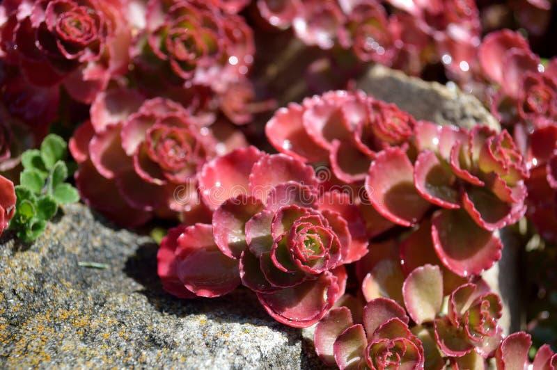 Spurium di Sedum del tappeto rosso di Sedum immagine stock