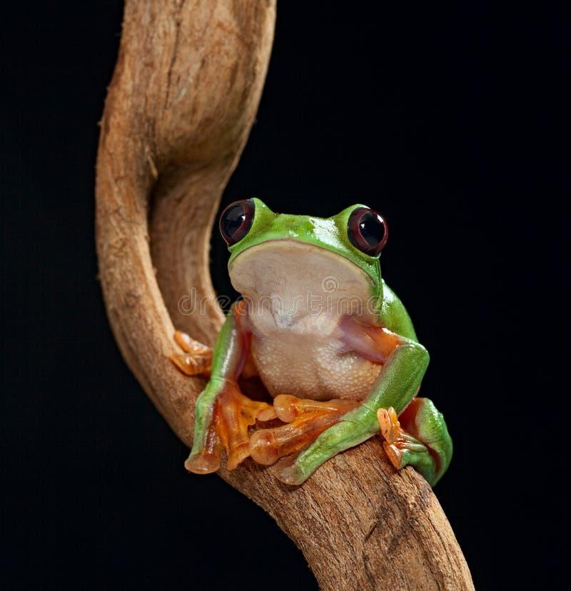 Spurrelli di Treefrog Agalychnis immagini stock libere da diritti