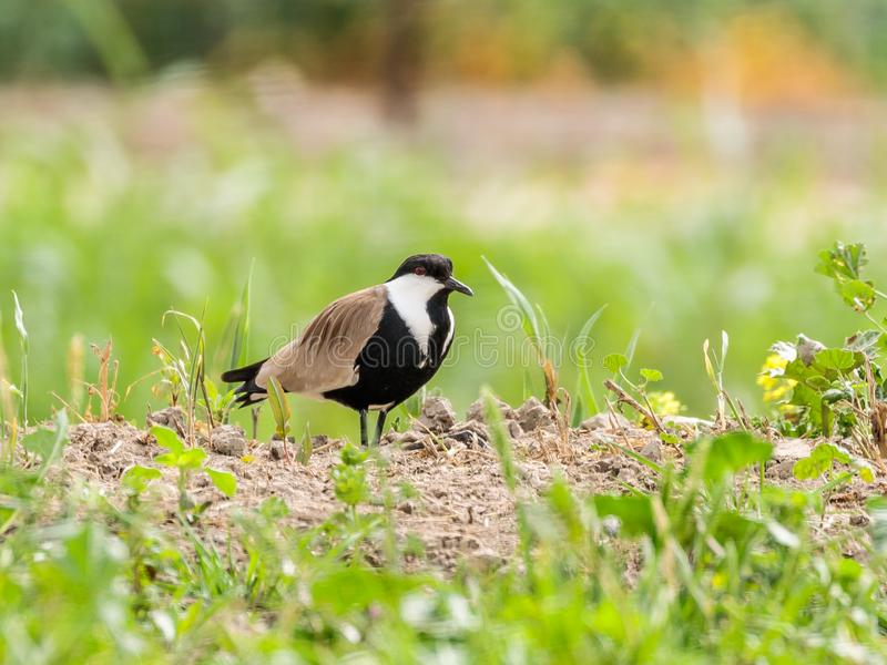 The Spurst Chibis Vanellus spinosus stands on the ground in the Hula Lake Nature Reserve in Israel stock photos