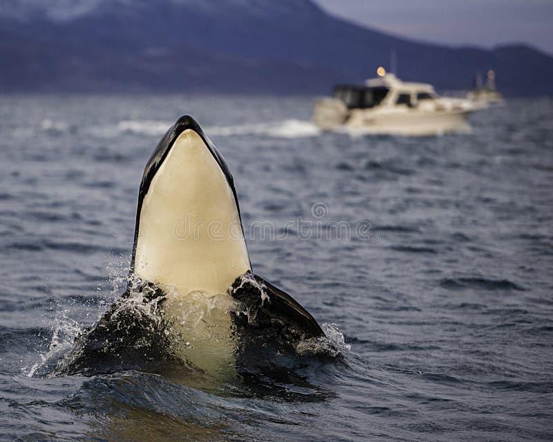 Spy Hopping Orca royalty free stock image