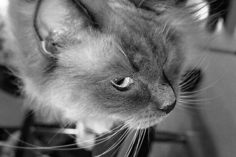 Spying ragdoll cat black and white. Black and white portrait of spying ragdoll cat sitting on a chair royalty free stock photography