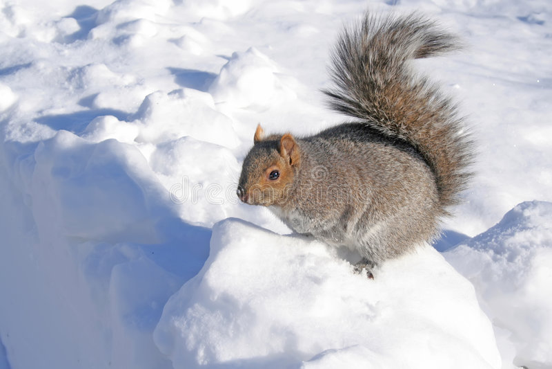 Sqirrel su una neve. fotografia stock libera da diritti