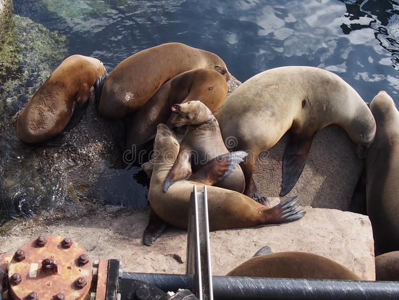 Squabbling Sea Lions stock photo