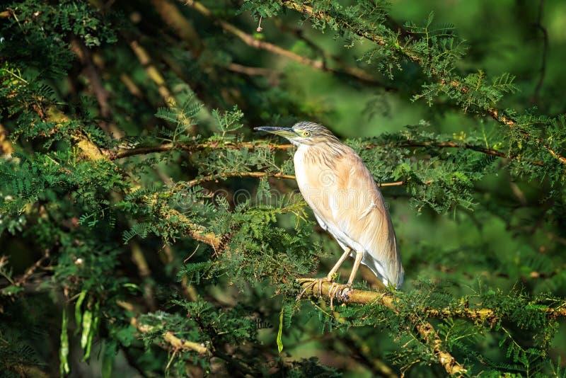 Squacco czapla na akacjowym drzewie przy Jeziornym Naivasha, Kenja obrazy royalty free
