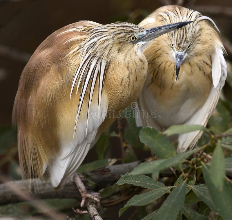 Free Squacco Heron 1 Stock Image - 21824151