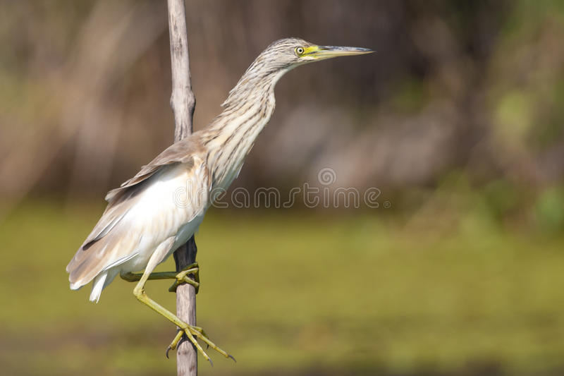 Squacco Heron royalty free stock photos