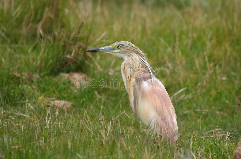 Download Squacco Heron (ardeola Ralloides) Stock Photography - Image: 18299342
