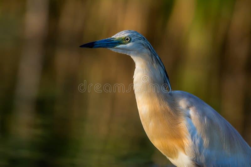 Squacco Heron Ardeola ralloides close up, portrait, calm stock image