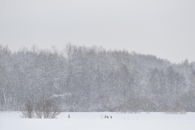 Download Squad Of Roe Deers In Wintertime Royalty Free Stock Photography - Image: 22873957