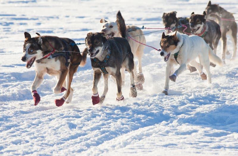 Squadra di trazione dei cani della slitta fotografia stock